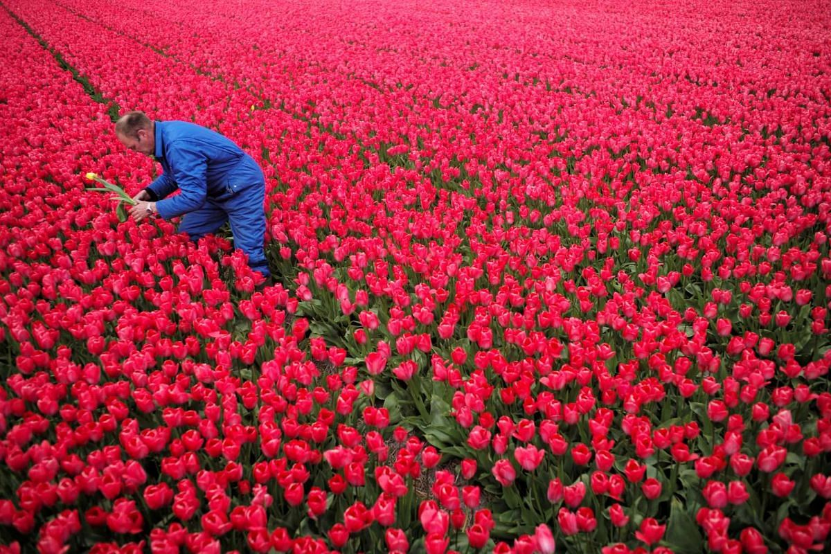 A photo released on April 24, 2017 shows farmer Piet Warmerdam picking up a yellow tulip from a red flower field as its growth could damage the rest, in Den Helderin, Netherlands April 22, 2017. PHOTO: REUTERS