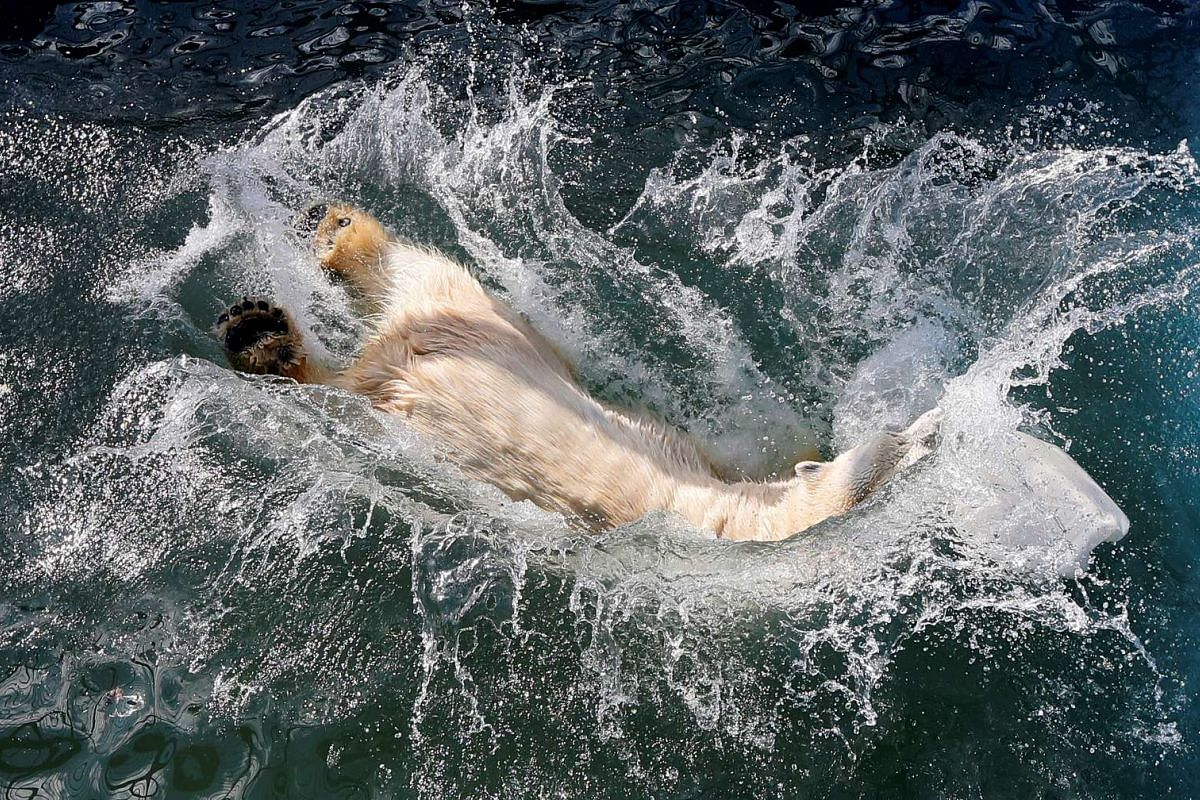 Aurora, a seven-year-old female polar bear, jumps into a swimming pool which was recently filled with water after the winter season, at the Royev Ruchey zoo in a suburb of the Siberian city of Krasnoyarsk, Russia, April 24, 2017. PHOTO: REUTERS