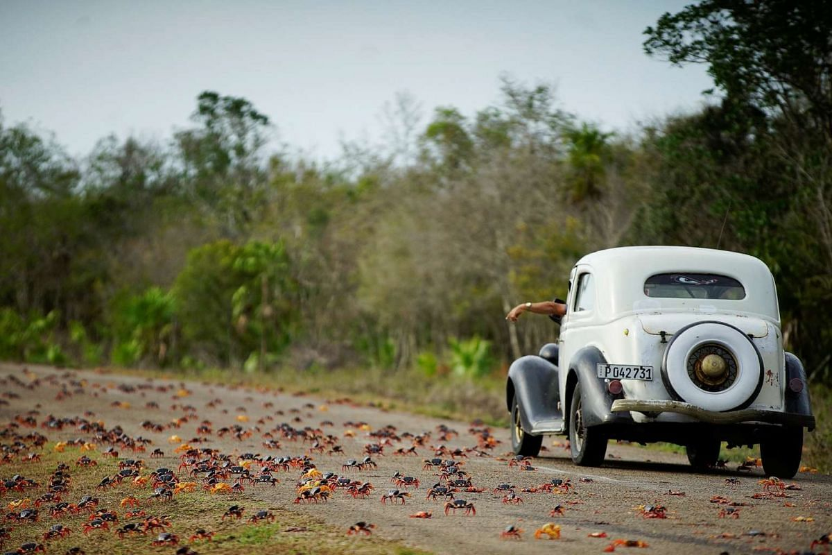 A photo released on April 26, 2017 shows a man driving a vintage car reacting as he passes crabs crossing a highway on their way to spawn in the sea in Playa Giron, Cuba, April 21, 2017. PHOTO: REUTERS