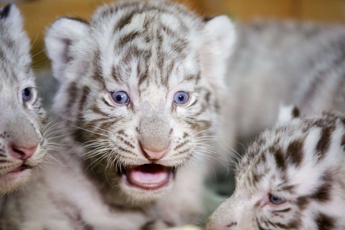 A White Bengal tiger cub is pictured at the White Zoo in Kernhof, lower Austria, April 26, 2017. PHOTO: EPA