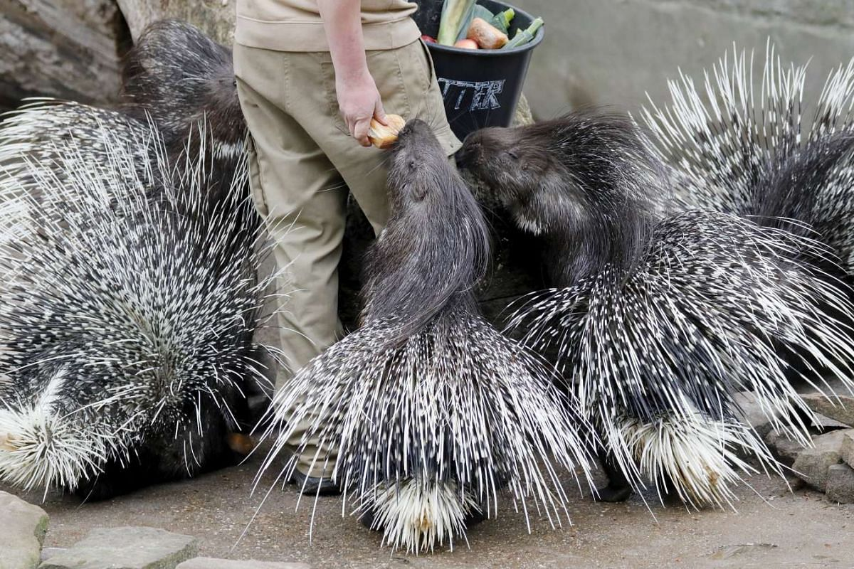 Porcupines getting their food at the zoo in Heidelberg, Germany, May 2, 2017.