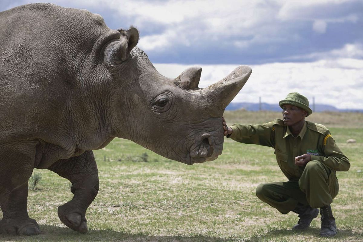 One of the two last surviving female northern white rhinos Fatu is caressed by a caretaker at Ol Pejeta Conservancy near Nanyuki, some 200 kilometers north of Nairobi, Kenya, May 3, 2017. Ol Pejeta Conservancy, where Sudan and the world's last two fe