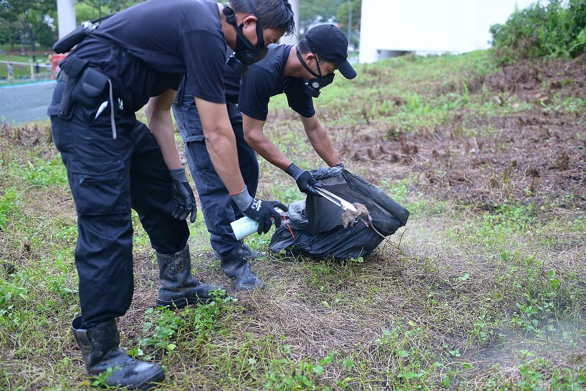 Pest controllers removing a rat carcass in Bukit Batok. About 82 per cent of rat burrows found in housing estates had been near rubbish chutes and bin centres.