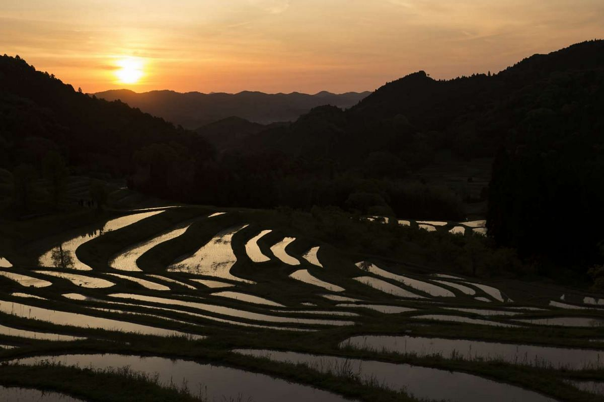 The sun is reflected on paddy fields at the Oyama Senmaida terraced rice fields in Kamogawa, Chiba, Japan.