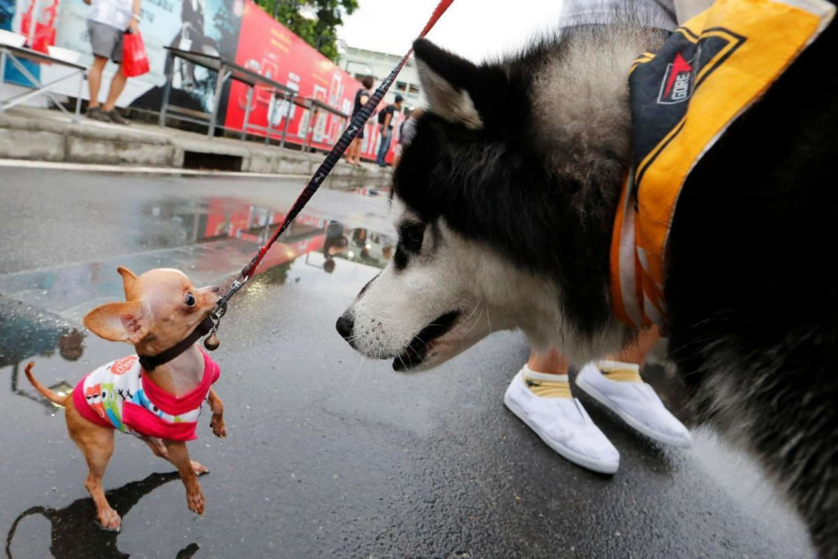 Pets getting ready before running a mini-marathon for dogs in Bangkok, Thailand, on May 7, 2017.