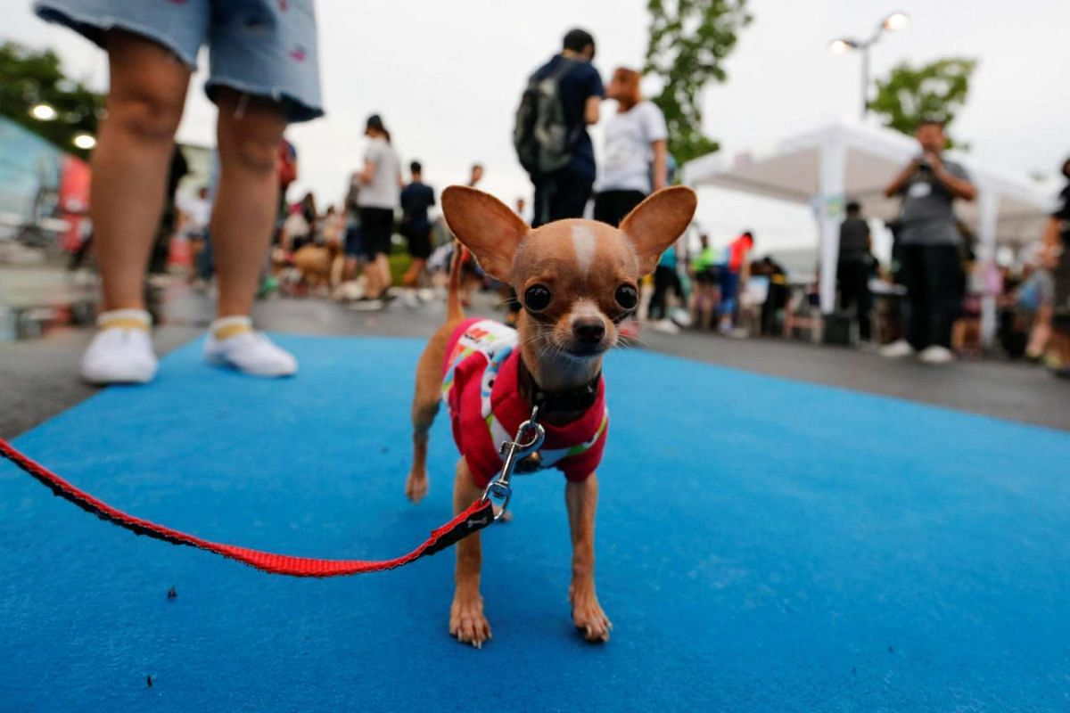 A pet getting ready to run a mini-marathon for dogs in Bangkok, Thailand, on May 7, 2017.