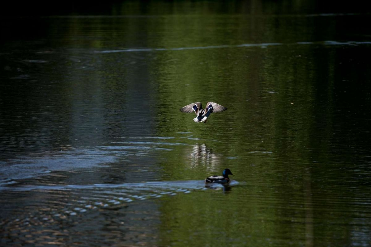 A duck flies over a pond in the Fuerst-Pueckler-Park.