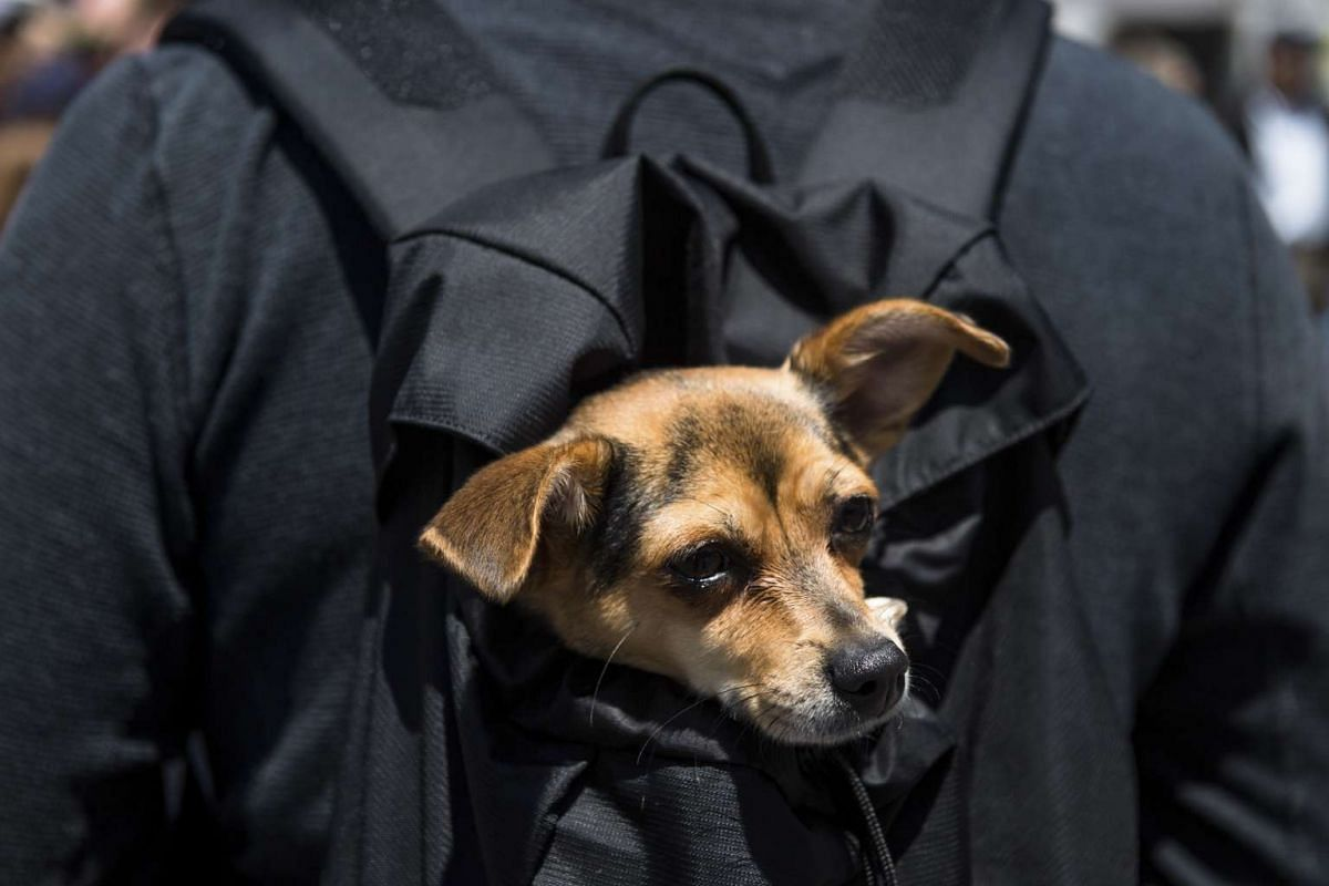 Myrtle, who came from a shelter, hitches a ride in her owner Guy Harley's backpack during Adoptapalooza, a pet adoption event Sunday afternoon at Union Square in New York, May 21, 2017. PHOTO: THE NEW YORK TIMES
