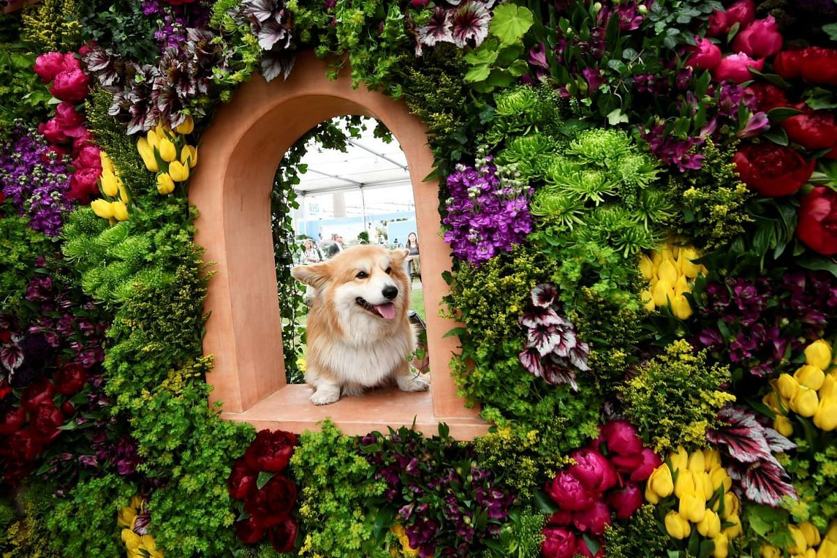 """Marcel """"Le Corgi"""" perches on a display at the RHS Chelsea Flower show in London, Britain, on May 22, 2017."""