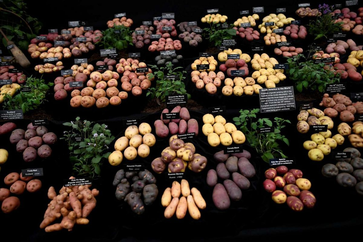 Potatoes are displayed at the RHS Chelsea Flower show in London, Britain, on May 22, 2017.