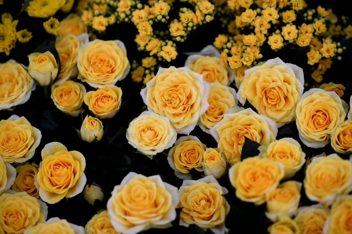Roses are displayed at the RHS Chelsea Flower show in London, Britain, on May 22, 2017.
