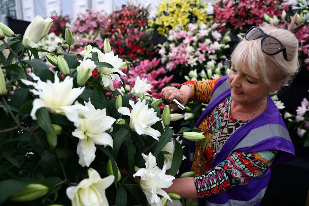An exhibitor prepares a display of lillies at the RHS Chelsea Flower Show in London, Britain on May 21, 2017.