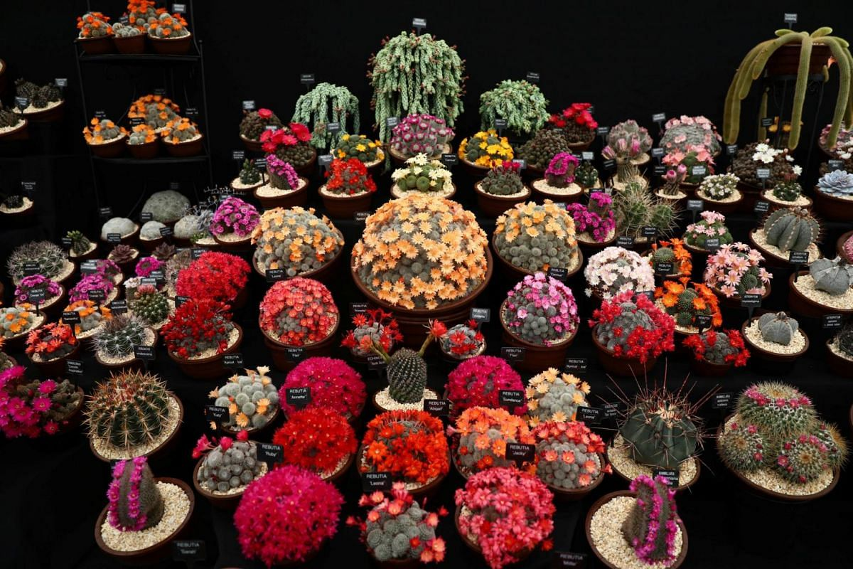 Cacti are displayed at the RHS Chelsea Flower Show in London, Britain on May 21, 2017.