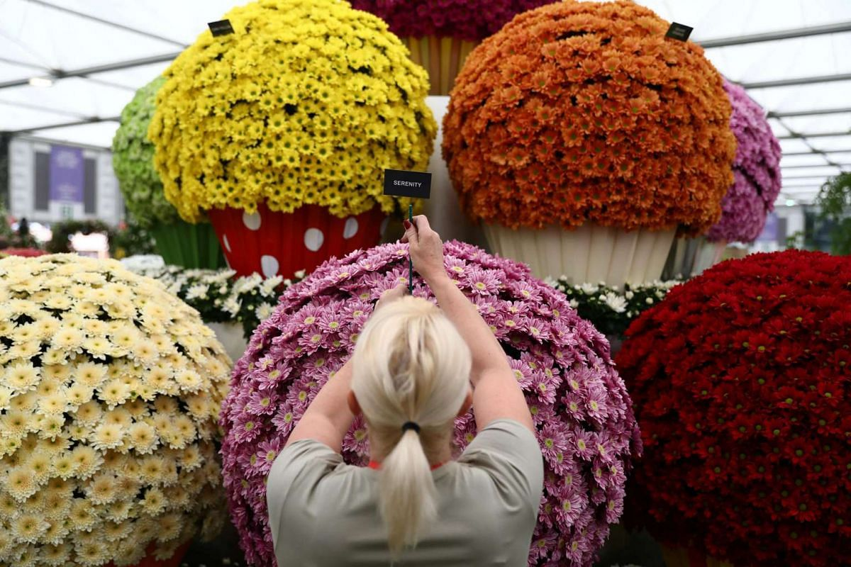 An exhibitor prepares a display by the National Chrysanthemum Society at the RHS Chelsea Flower Show in London, Britain on May 21, 2017.