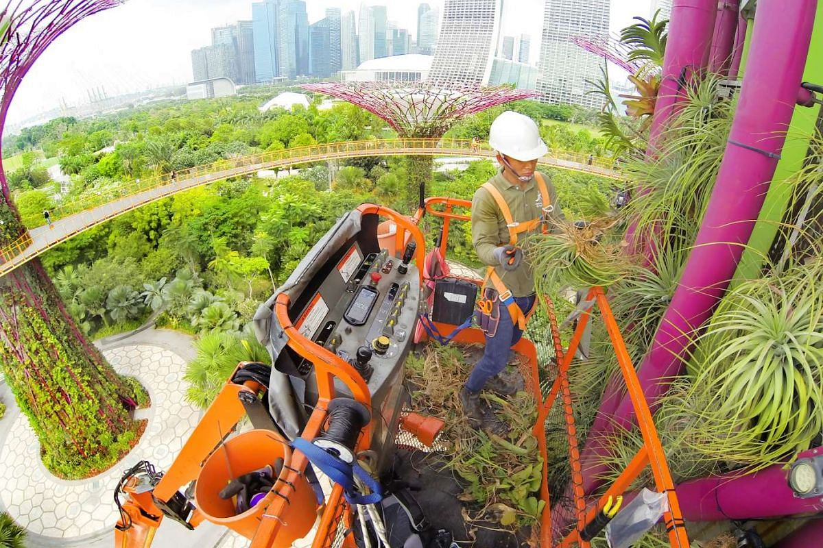 Mr Aye Minn Aung, an officer from the Gardens operations team, using a boom lift to work on one of the Supertrees, whose heights range between 25m and 50m. The Supertrees host plants such as bromeliads, ferns, orchids and tropical flowering climbers.