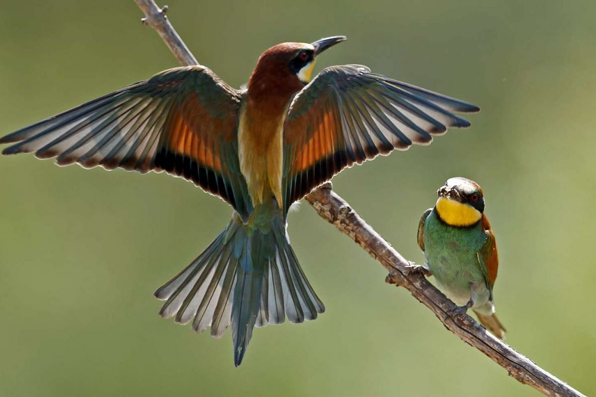 Two European bee-eaters (Merops apiaster) sit on a branch in Lambsheim near Ludwigshafen, Germany, May 29, 2017. The bee-eater is a summer bird and breeds in certain parts of Rhineland-Palatinate. PHOTO: EPA