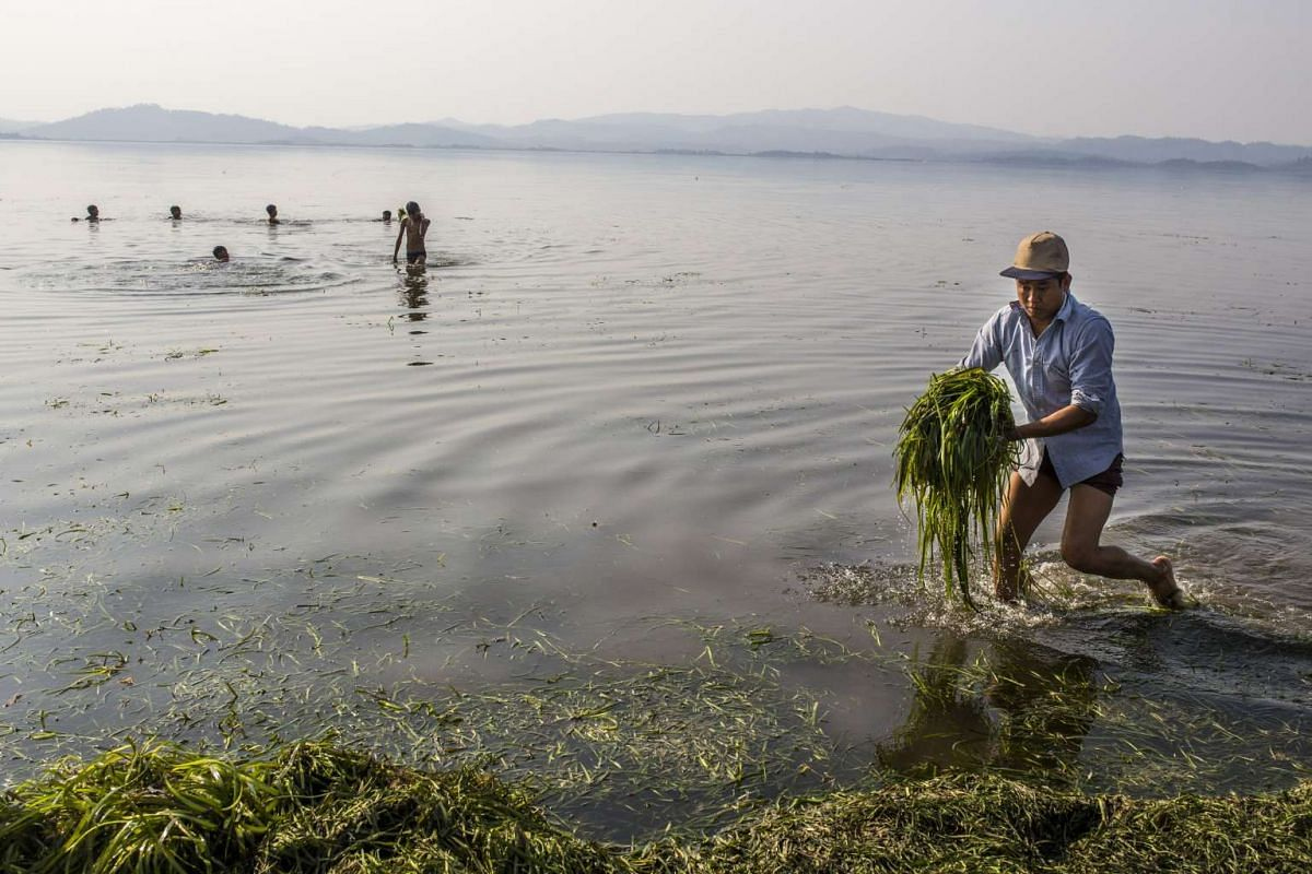 A man collects food for his cattle as children play in the Indawgyi Lake in Myanmar.