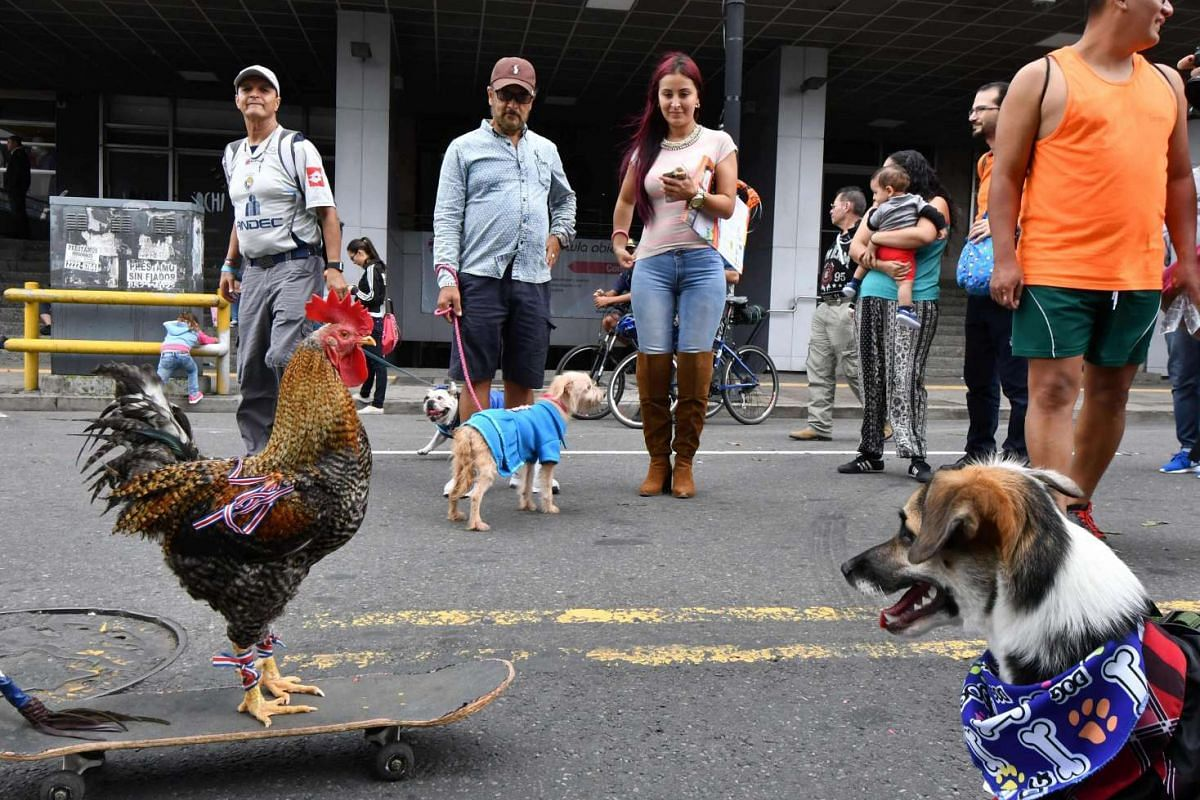 A dog looks at a cock on a skate as thousands of people celebrate in the streets of San Jose after the promulgation a law against animal abuse which establishes fines and prison sentences for those who harm an animal on June 11, 2017.