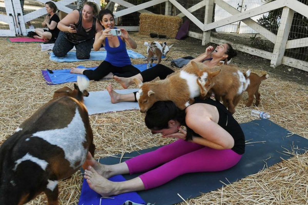 """Nigerian Dwarf goats roam about as participants practise their exercise routines at a """"Goat Yoga"""" class by Lavenderwood Farm in Thousand Oaks, California."""