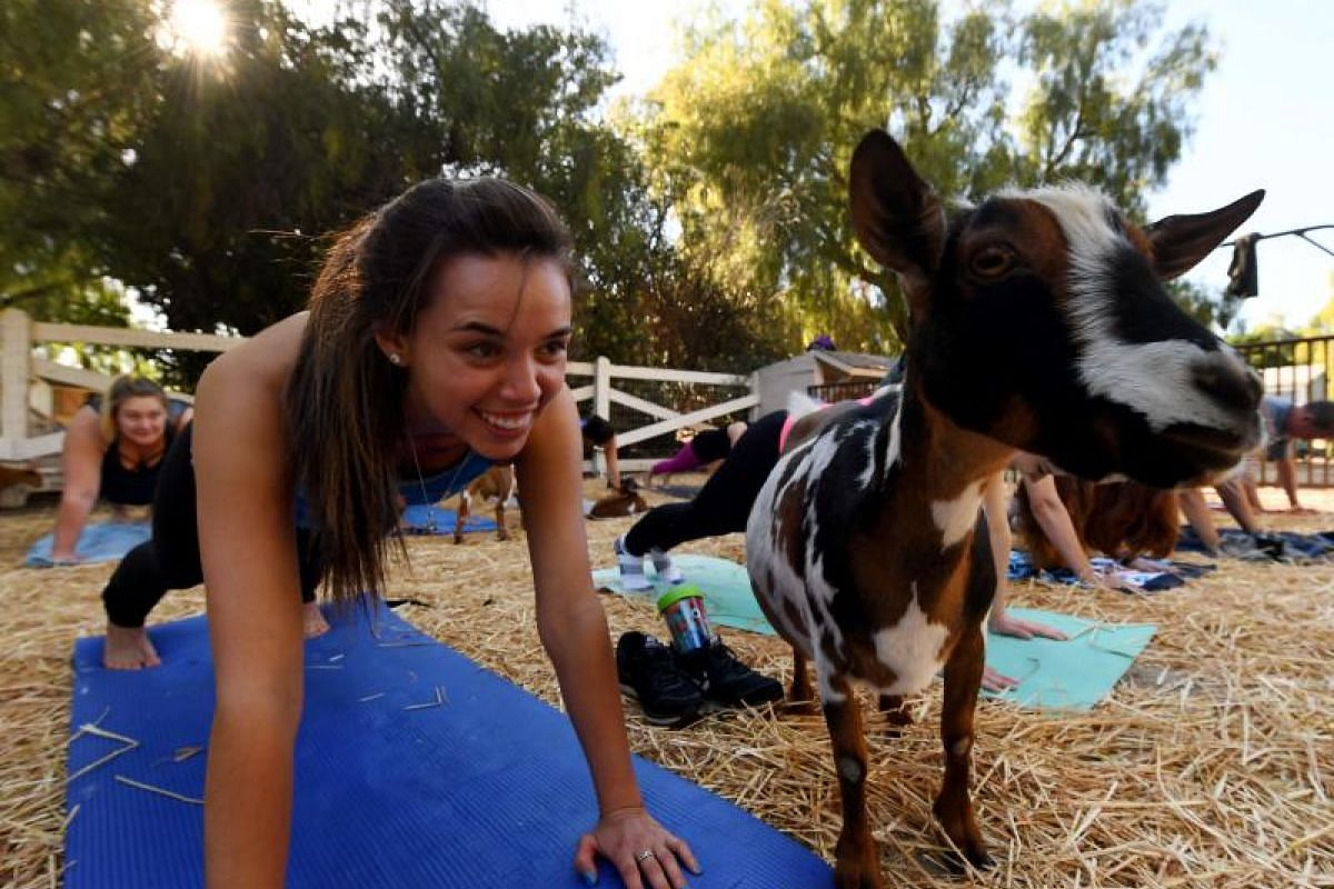 "Participants at  a ""Goat Yoga"" class by Lavenderwood Farm in Thousand Oaks, California"