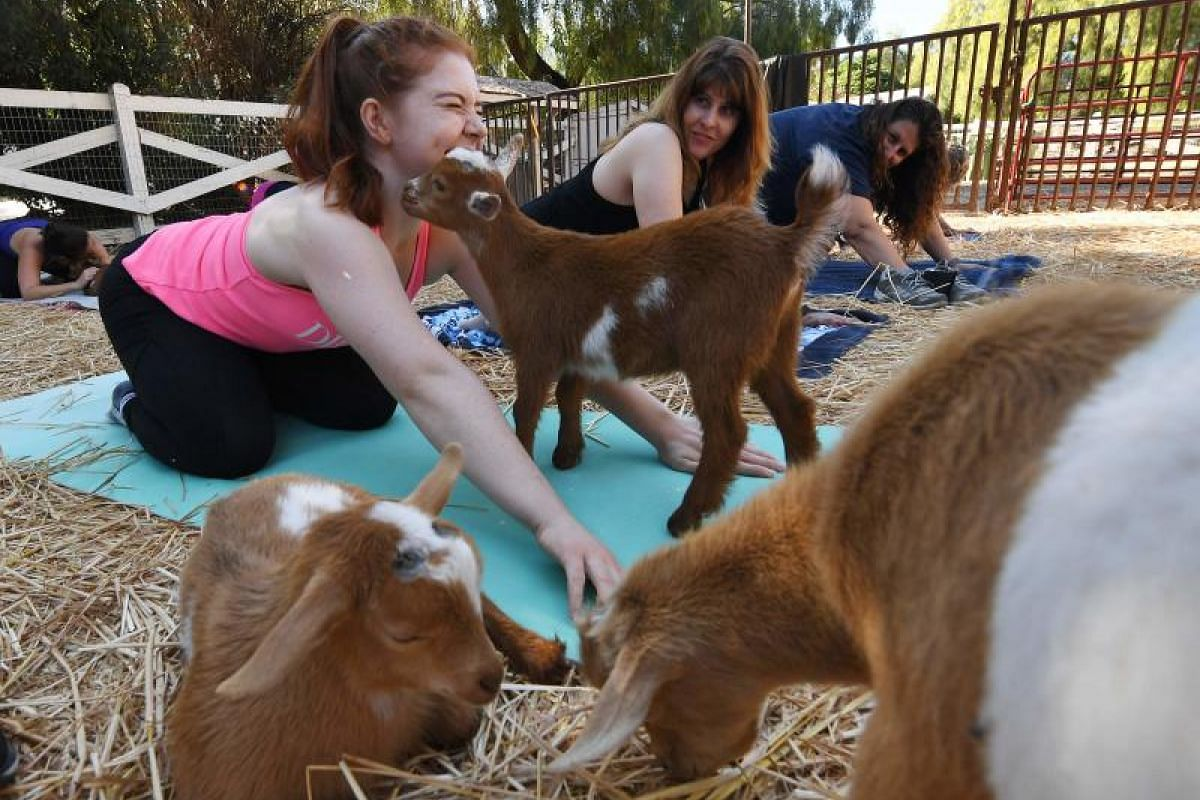 """Participants having fun at a """"Goat Yoga"""" class by Lavenderwood Farm in Thousand Oaks, California on Sunday (June 4)."""