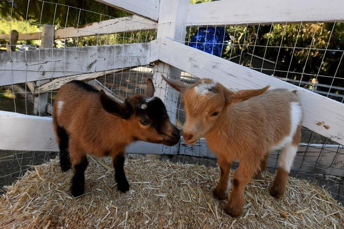 "Baby goats at  a ""Goat Yoga"" class organised by Lavenderwood Farm in Thousand Oaks, California on Sunday (June 4)."