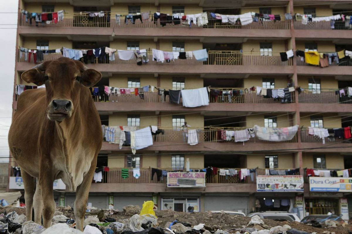 A cow scavenges for food at a dumpsite next to residential buildings in Pipeline estate area of the capital Nairobi, Kenya, June 15, 2017.