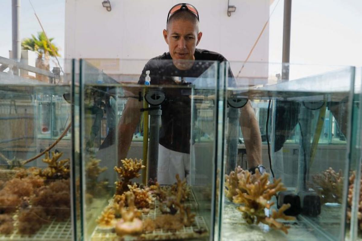 Marine biology professor Maoz Fine, from Israel's Bar Ilan University, inspecting corals in an aquarium at the Interuniversity Institute for Marine Sciences. At the institute are dozens of aquariums showcasing samples of local corals.