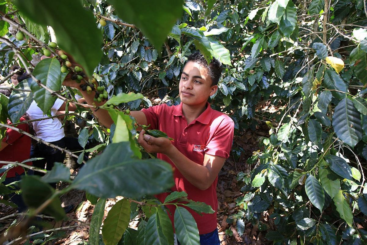 A student picking coffee.