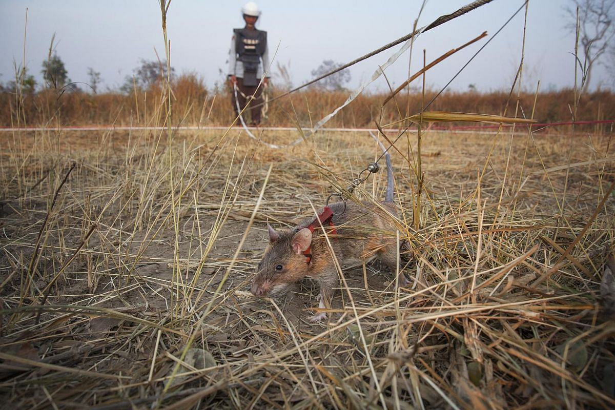 HeroRATs like Marcous are faster than metal detectors because they ignore scrap metal and only detect explosive scent.