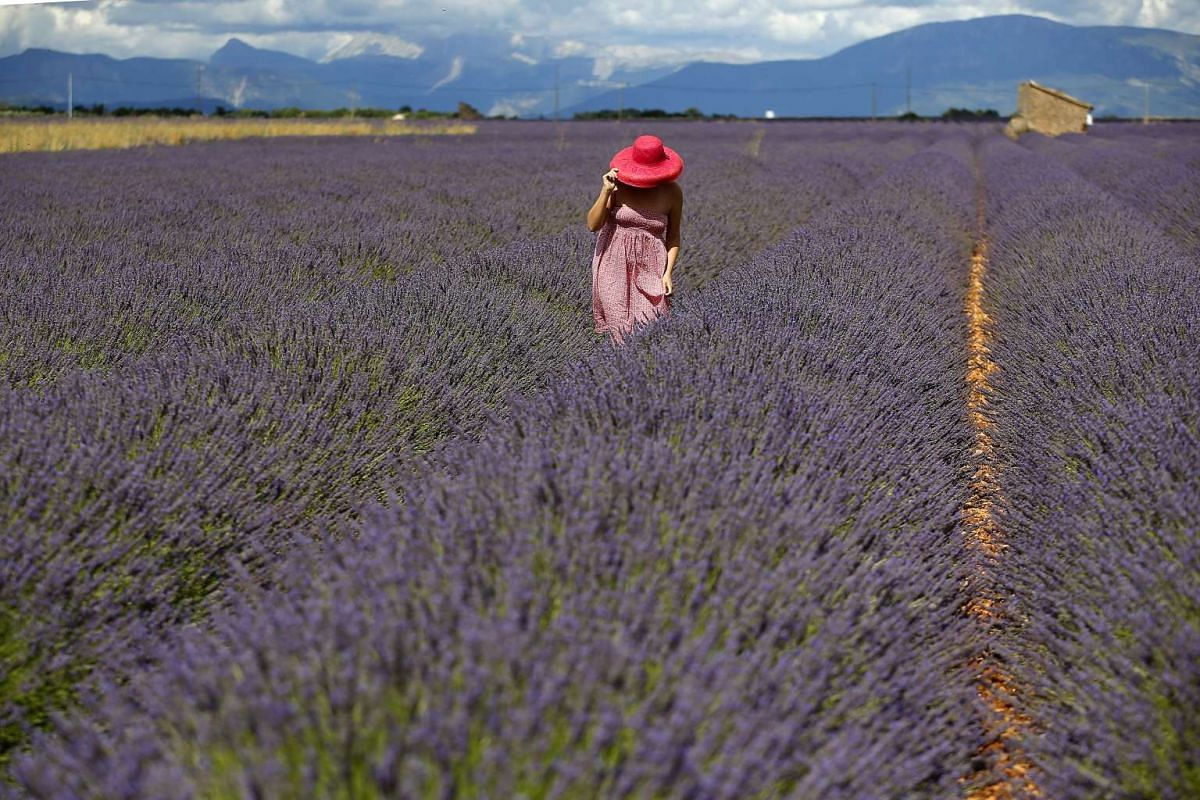 A tourist walks in a lavender field in Valensole, southern France, June 29, 2017. In Provence region in the south of France, lavender cultivation is very popular. The lavender blooms between June and August and its extracts are used for perfumes and