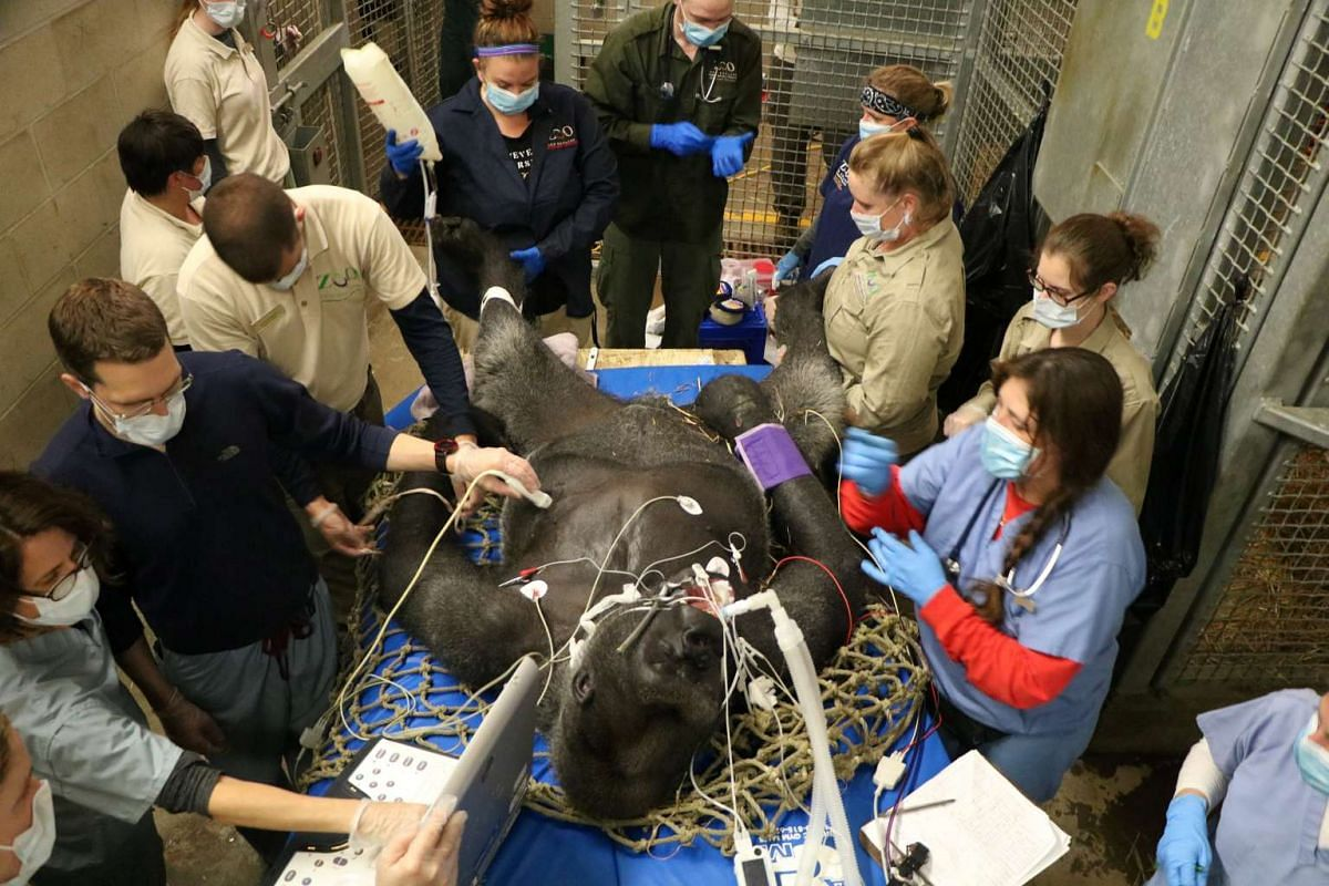 A handout photo released on June 29, 2017 shows Little Joe, a western lowland gorilla, being put under anesthesia at Franklin Park Zoo for a routine general physical examination, blood work and a cardiac exam by the zoo's veterinary staff in Boston,