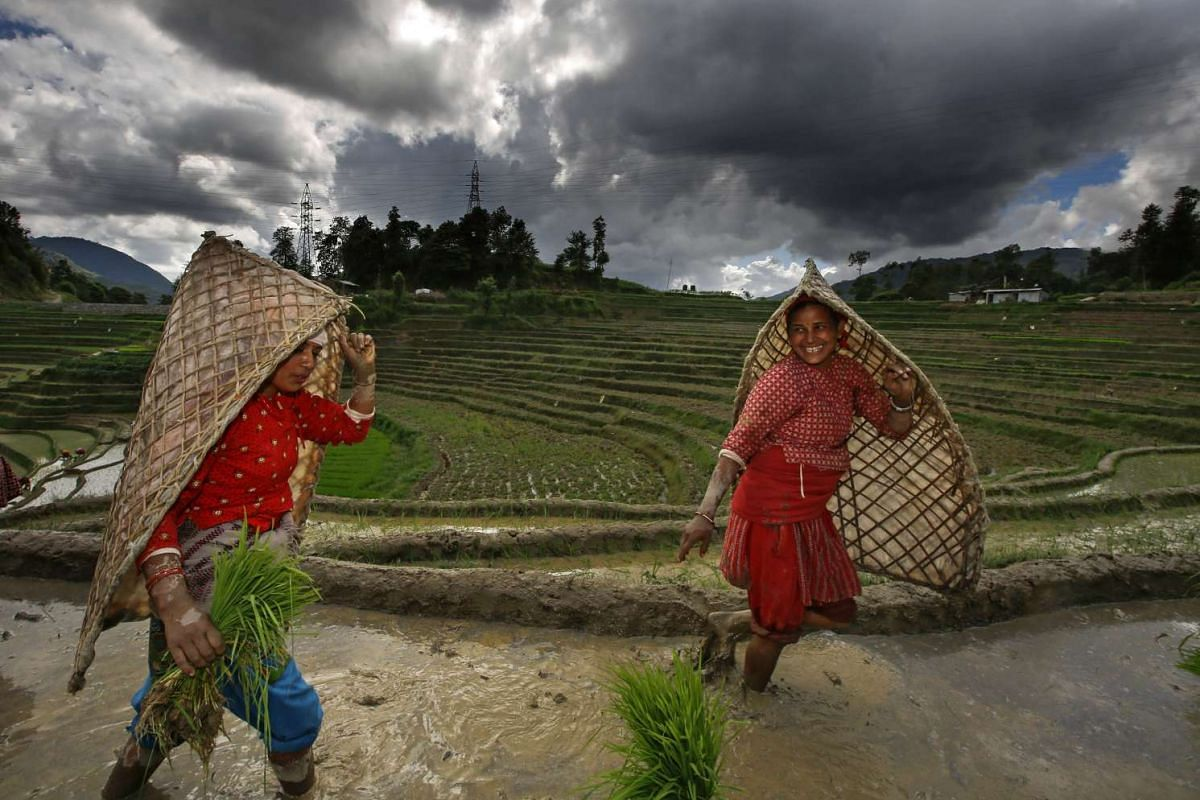 Farmers plant rice in a paddy field during National Paddy Day Tinpiple village, on the outskirt of capital Kathmandu, Nepal, June 29, 2017. PHOTO: EPA