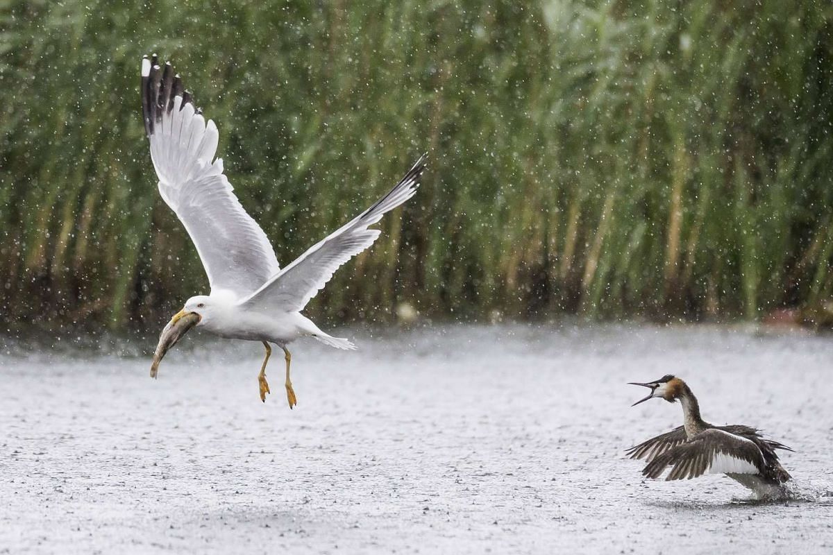 A great crested grebe (R) hunts a gull (L), who holds a fish in its beak at the nature reserve pro natura de Champittet in Yverdon, Switzerland, June 29, 2017. PHOTO: EPA