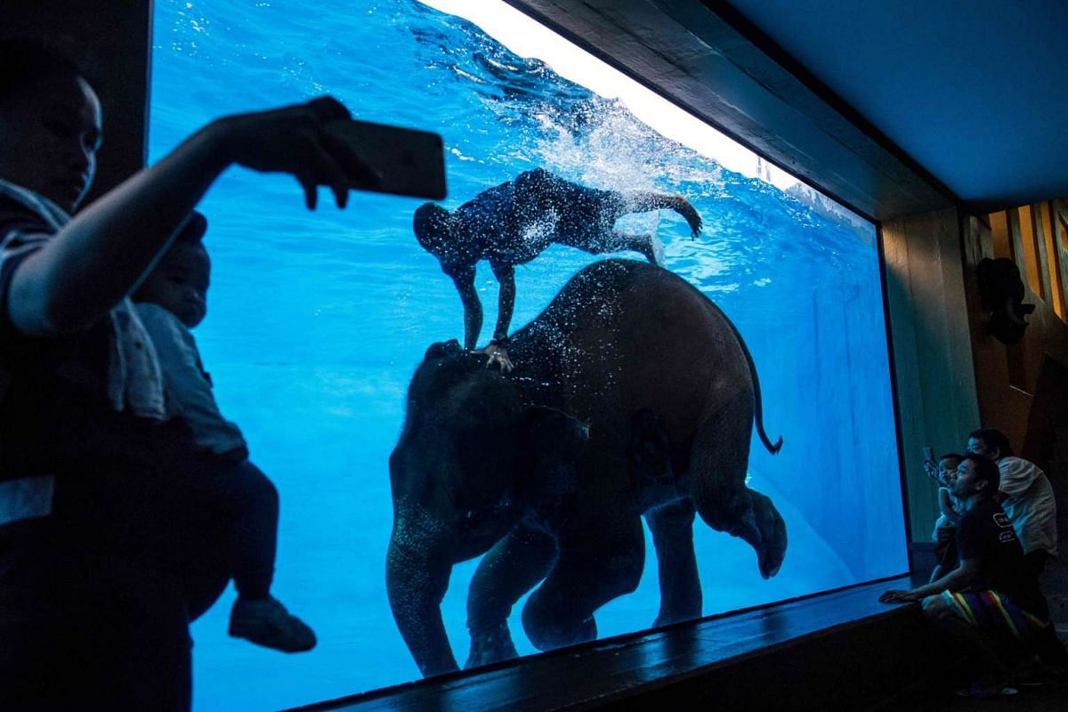 Tourists watching an elephant perform with her handler at a pool in a animal park south of Bangkok. Twice as many elephants work in Thailand's tourism industry as the rest of Asia combined, a new report revealed on July 6, 2017, with the vast majorit