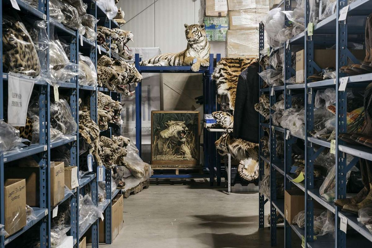 A full mounted tiger specimen in the aisles of the National Wildlife Property Repository near Denver. The repository is crammed with an astounding array of 1.3 million intercepted contraband products made from animals, many of them whose existence is