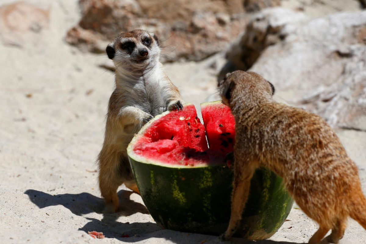 Meerkats eat a frozen watermelon on a hot summer day at the Bioparco zoo in Rome, Italy, on June 27, 2017.