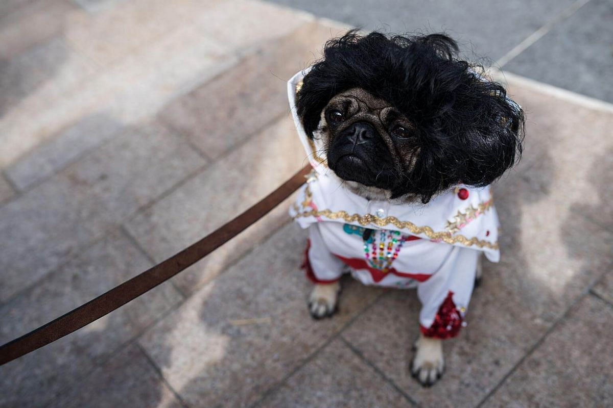 'Elvis' the pug dog attends PugFest Manchester at MediaCityUK in Salford, on July 16, 2017.