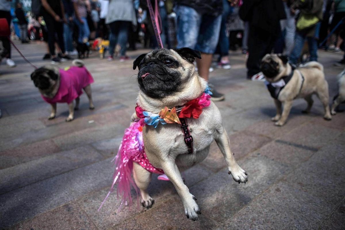 Pug dogs and their owners attend PugFest Manchester at MediaCityUK in Salford, on July 16, 2017.