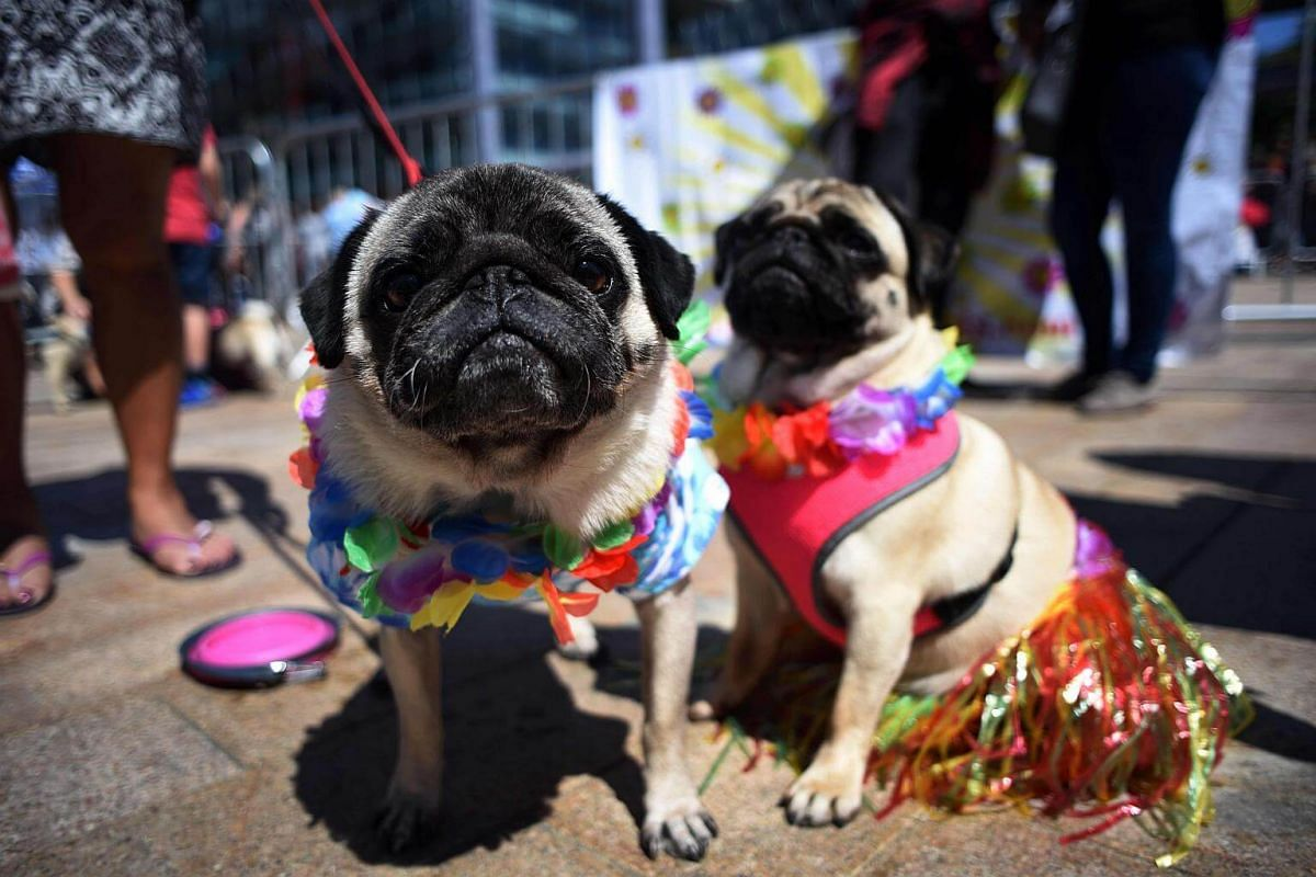 Pug dogs Kobi (left) and Lily attends PugFest Manchester at MediaCityUK in Salford, on July 16, 2017.