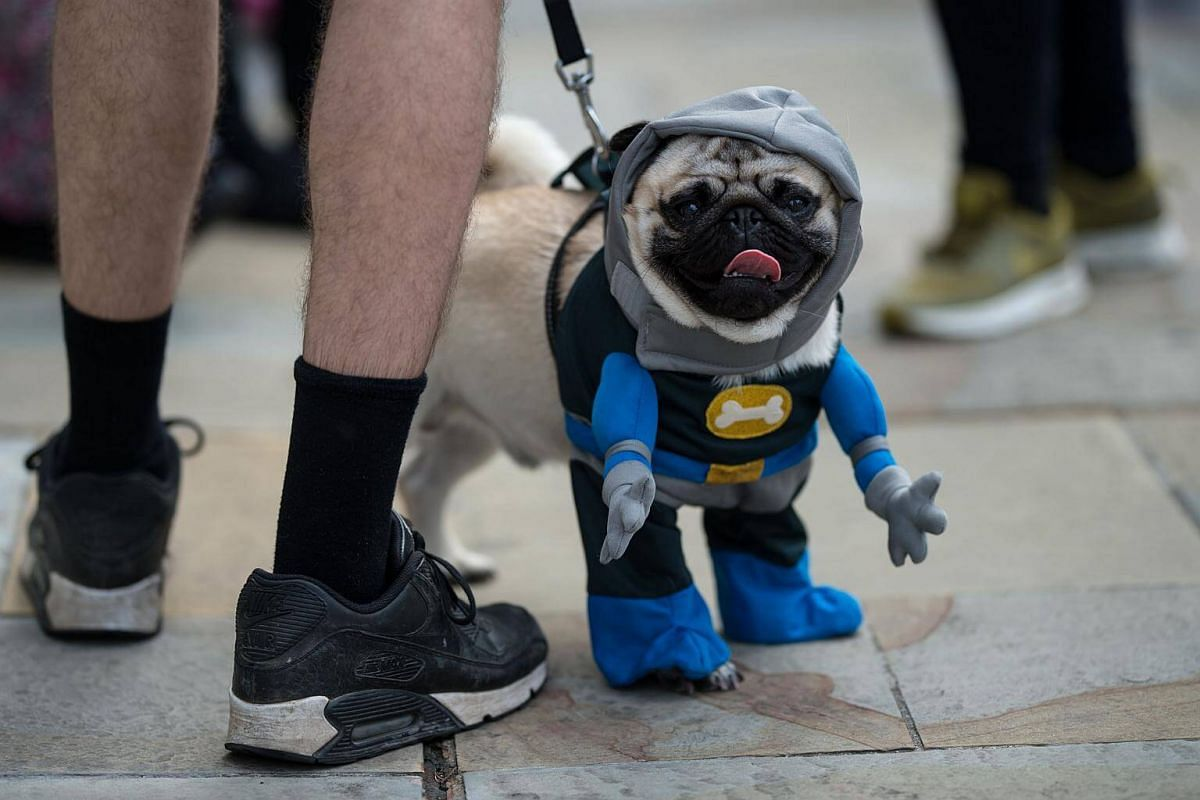 Pug dogs and their owners arrive at PugFest Manchester at MediaCityUK in Salford, on July 16, 2017.