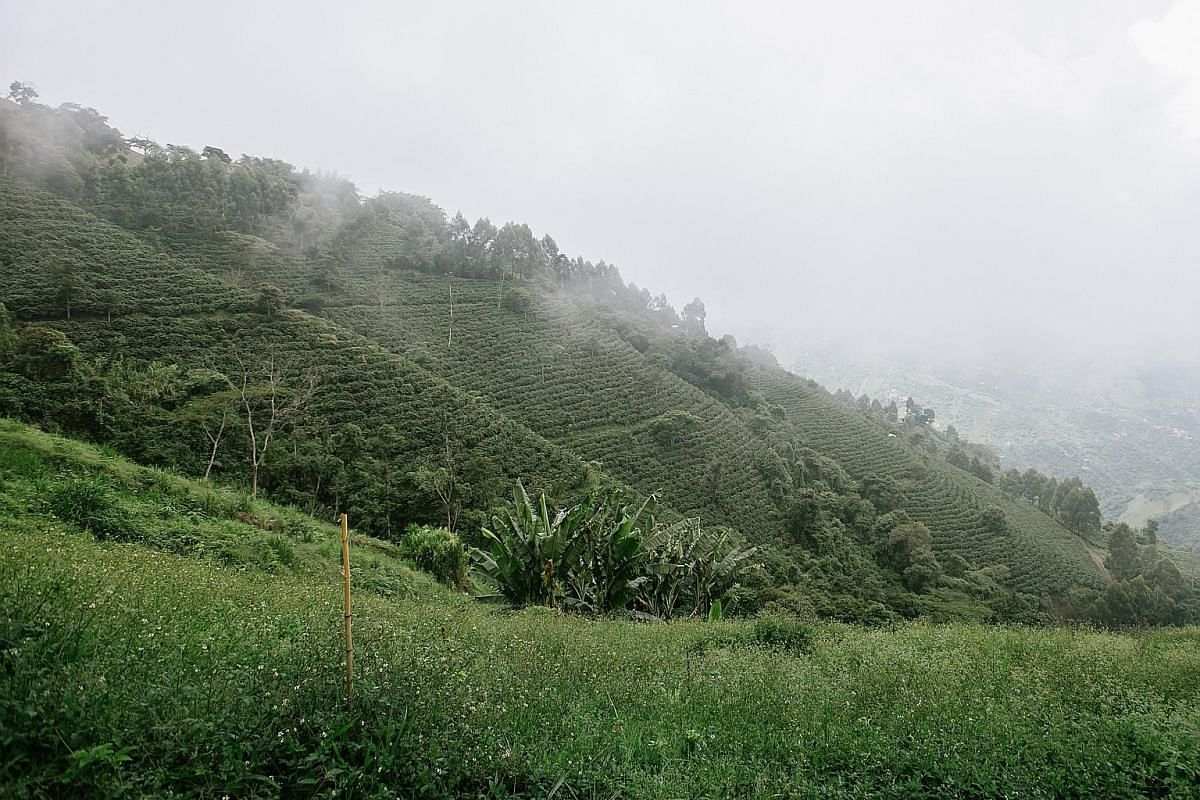 The mist-covered slopes of a Colombian coffee farm. Medellin has shed its image as the stomping ground of drug lords. Speciality coffee producer and exporter Pedro Echavarria at the Pergamino coffee mill. Coffee cherries being poured into the pulping