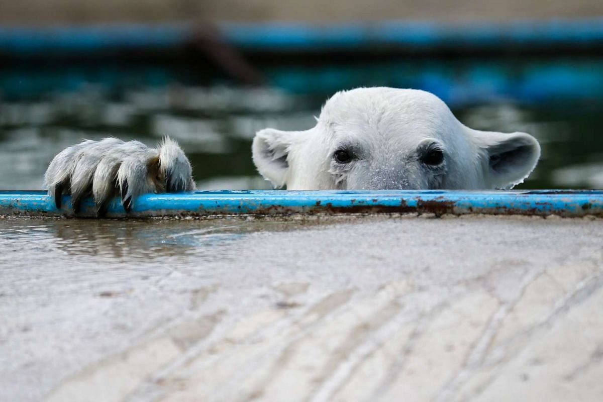 A Polar bear swims in a pool at the center of reproduction of rare species of animals at the Moscow Zoo in the village of Sychevo, Moscow Region on July 24, 2017.