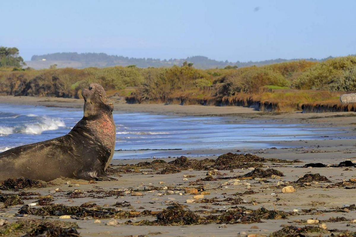 Scientists at the Californian state park record calls from elephant seals up and down the social hierarchy and discovered that they may be the only mammals other than humans to rely on rhythm to recognize other members of their species.