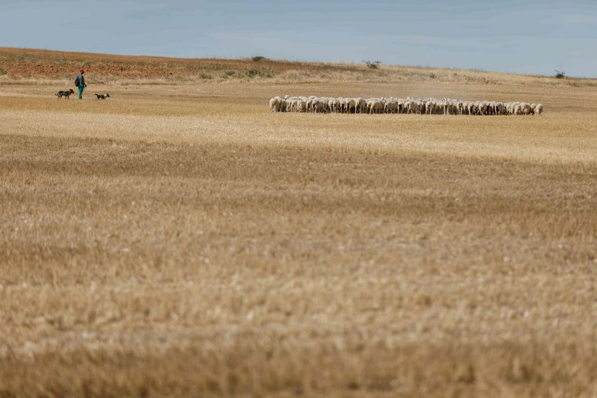 A shepherd walks his herd through the field in Pampliega, near Burgos, in Castile and Leon's region on July 26, 2017. Water reserves were at June 12 at 53.4% capacity, well below the average of the last five years, at 72.7%, warned the Spanish Minist