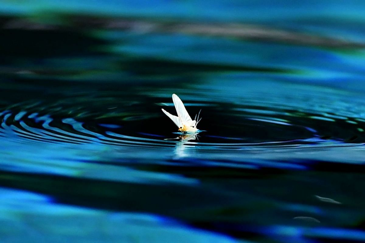 A mayfly sits on the water prior to a semifinal water polo match between Croatia and Serbia at the FINA2017 world championships on July 27, 2017, in the Hajos Alfred swimming pool in Budapest.