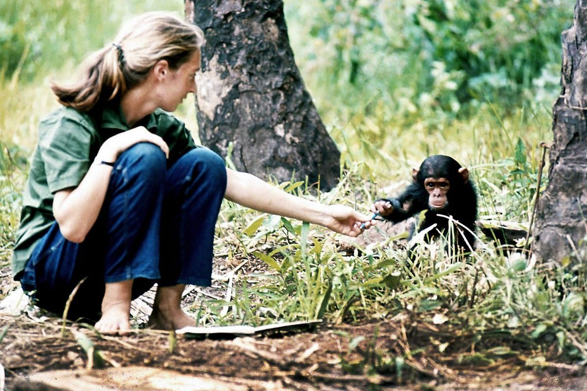 Dr Jane Goodall in her younger days and with a chimpanzee called Flint at Gombe Stream Research Centre in Tanzania in 1964 (above).