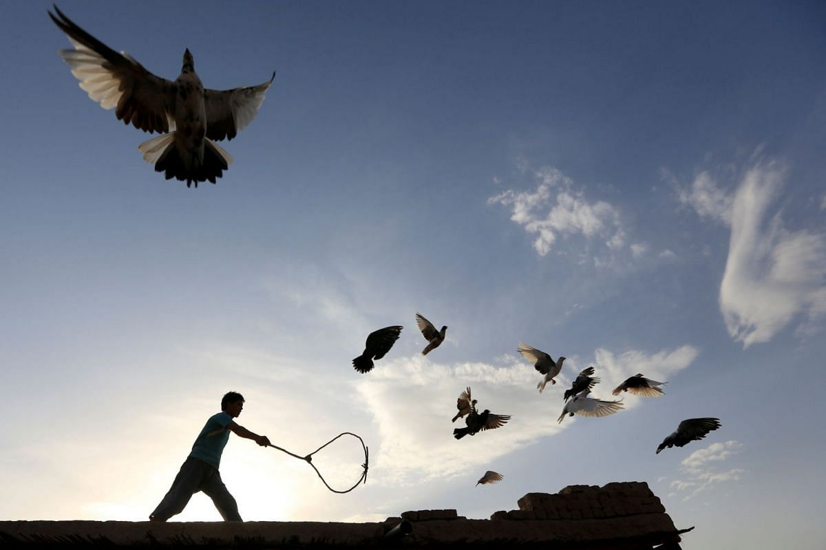 A man wields a stick as his flock of domesticated pigeons fly atop the roof of his house in Nangarhar province, Afghanistan August 16, 2017.