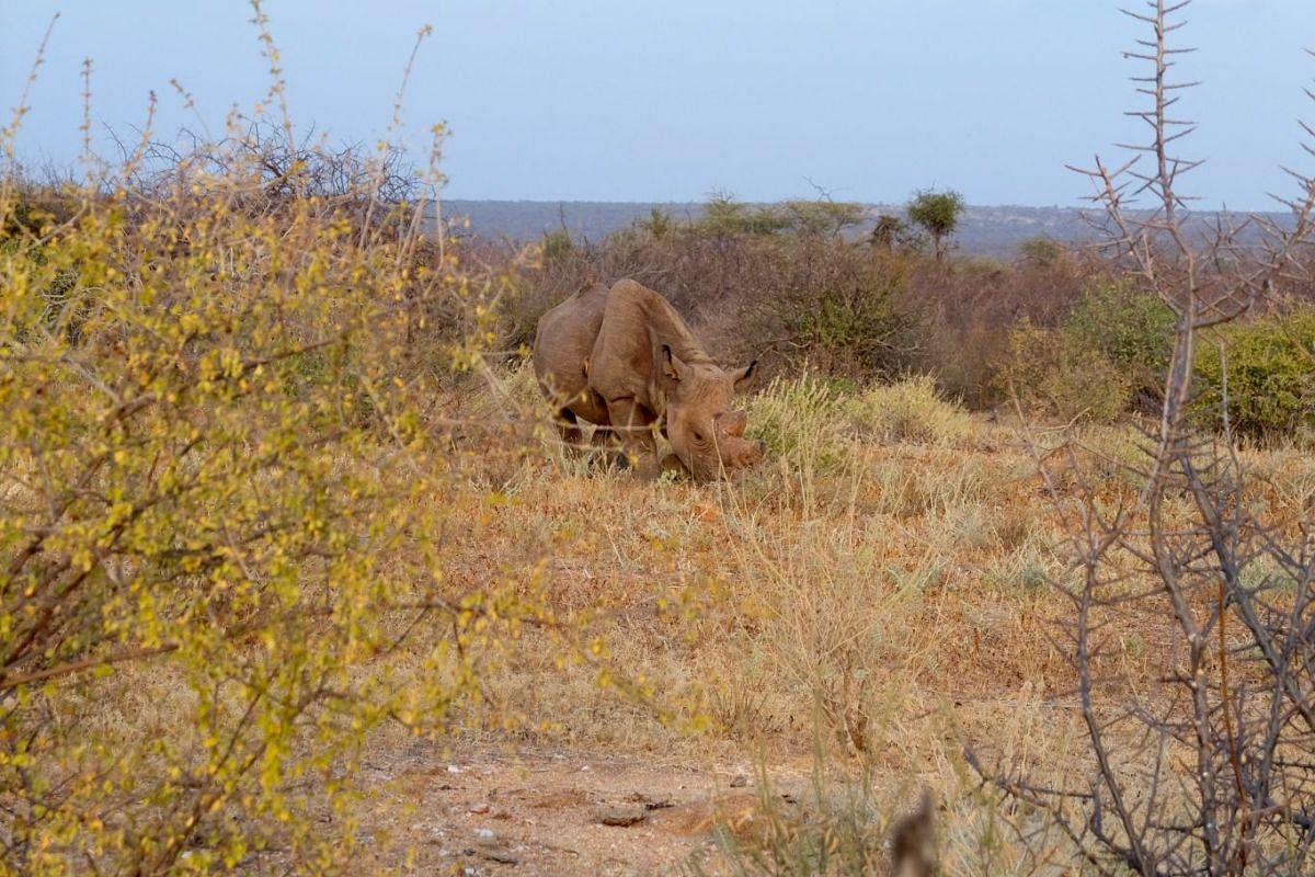 Rangers in the Sera conservancy looking out for black rhinos (above).