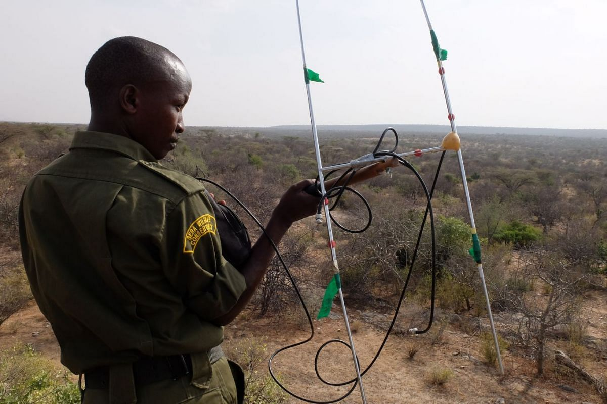 The aerials receive signals from microchips implanted in the rhinos' horns and tell the rangers roughly where they are.